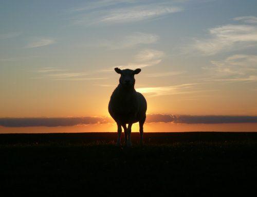 Black Sheep Benefits
